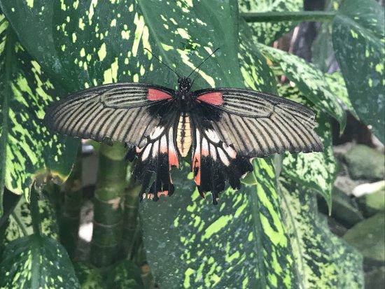 Quartier D'Orleans, St. Maarten-St. Martin: Papillon