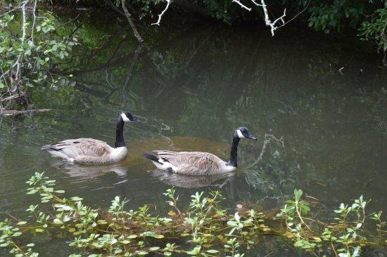 Pickens, Νότια Καρολίνα: Canada geese