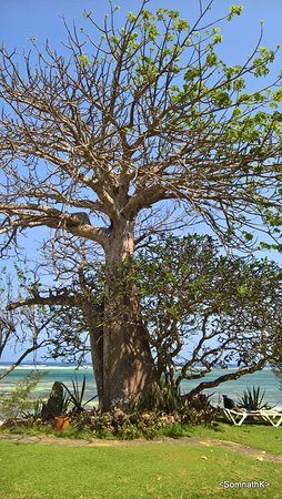 Baobab Beach Resort & Spa: The premise has great trees... specially Baobabs