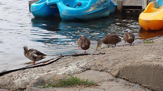 Camping Chalets Juneau: Les canards sont au rendez-vous