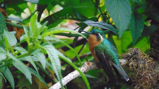San Gerardo de Dota, Costa Rica: colibrí montañés