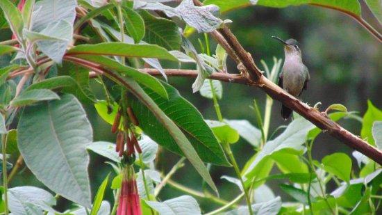 San Gerardo de Dota, Costa Rica: hembra del colibrí magnifico