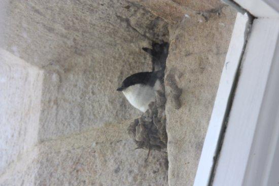 Thurnham, UK: House martin/swallow nesting outside our bedroom