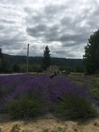 Fall City, WA: the purple patch