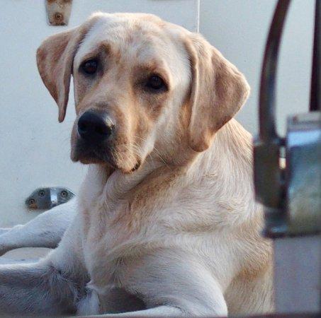 Passaat Classic Schooner: Our Boat dog, yellow lab, Goof