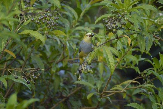Savegre Hotel, Natural Reserve & Spa: Long-tailed silky flycatcher