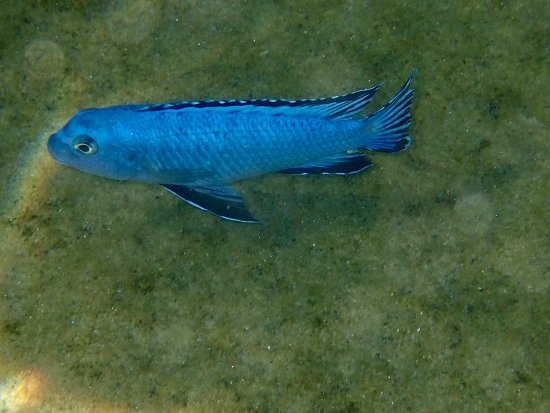Lichinga, Mozambique: P scolofi which was originally found only around Nkwichi but has been introduced to Thumbi Islan