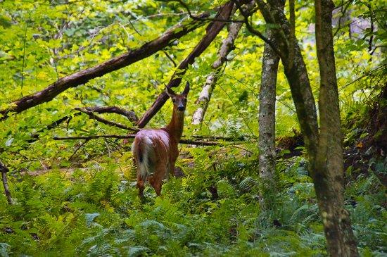 Hacker Valley, เวสต์เวอร์จิเนีย: Deer in the woods