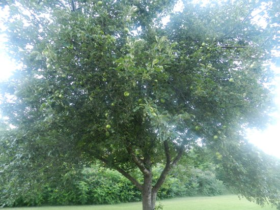 Ellison Bay, WI: Apple tree