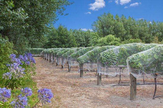 Clearview Lodge: Pinot Noir vineyard with bird nets on
