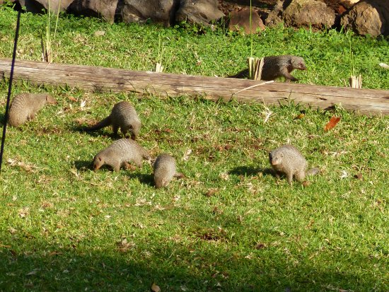 Lokuthula Lodges: Friendly and hungry banded mongooses