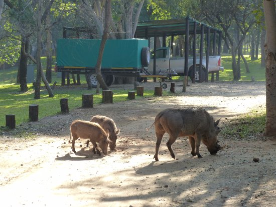 Lokuthula Lodges: friendly and hungry warthogs