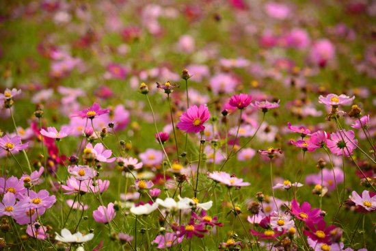 Takino Suzuran Hillside National Park: コスモスがとてもきれいでした。
