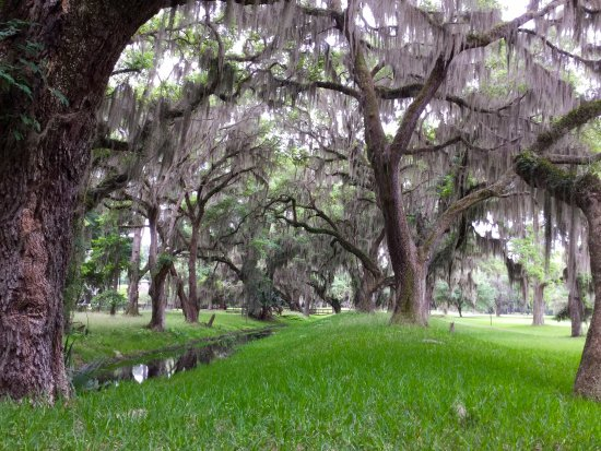 Sea Island oaks and spanish moss