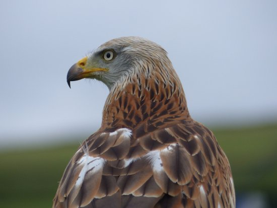 Oxenhope, UK: Red Kite (close up).