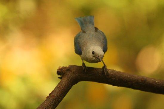 Jardin Botanico del Quindio: Azulejo Común (Thraupis episcopus)
