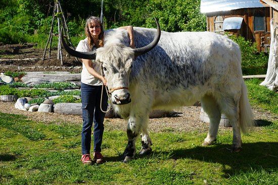 Homer, AK: Ranja with Yeti, half yak, half Galloway cow, never seems to stop growing.