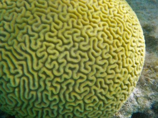 Hamilton, Islas Bermudas: Brain Coral