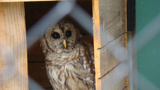 Panther Creek State Park: Teddy the owl