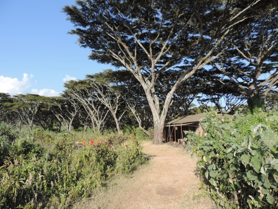 Lemala Ngorongoro Tented Camp: Path towards our room. Beautiful Trees- Magical Place.