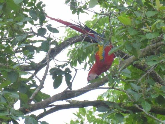 Drake Bay, Costa Rica: Makaw