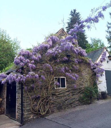 Woodhouse Eaves, UK: The beautiful wisteria.