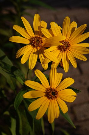 Harraseeket Inn: Trio of Yellow Daisies from Harraseeket front flower bed