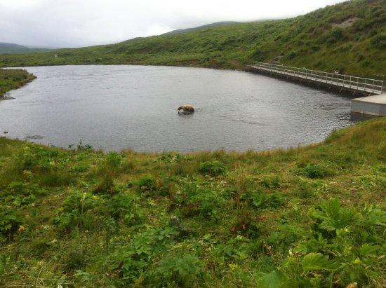 Kodiak, AK: Bärenmutter am Fluss