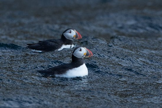 Big Bras d'Or, Canada: Puffins from the Bird Island boat Tour