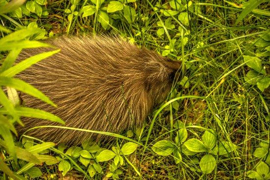 Gustavus, AK: Porcupine inside hotel grounds