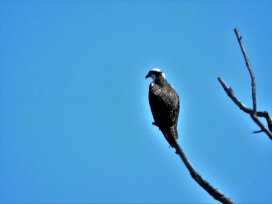 Seneca Falls, NY: osprey