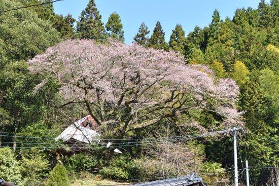 Yusuhara-cho, Japon : 春のひょうたん桜