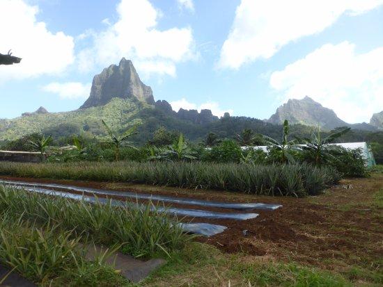 Moorea, Frans-Polynesië: Agricultural Lycee Crops