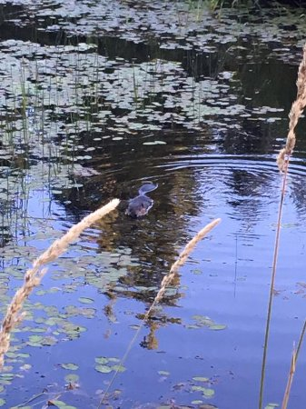 Courtenay, Canada: Beaver spotted