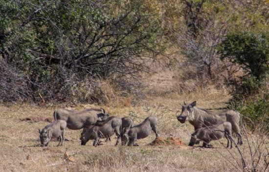 Pilanesberg National Park, South Africa: warthog family grazing