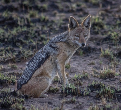 Pilanesberg National Park, South Africa: black-backed jackal