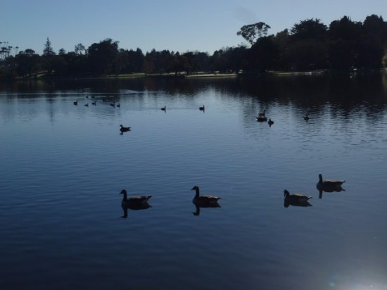 Hamilton, New Zealand: The ducks which you see all the way round the lake