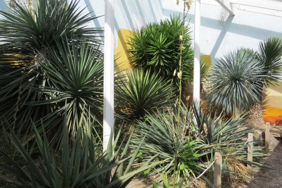 Renishaw, UK: Yuccas