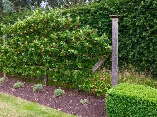 Espaliered Fruit Trees Picture Of East Ruston Old Vicarage