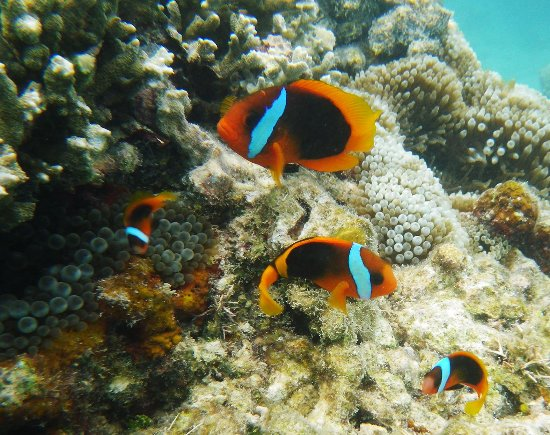 Clown fish spotted while snorkelling on the reef at Pele Island.