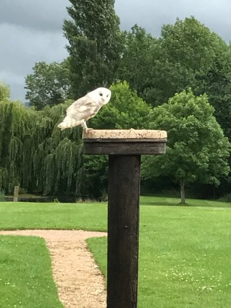 Newent, UK: Owl performing in public