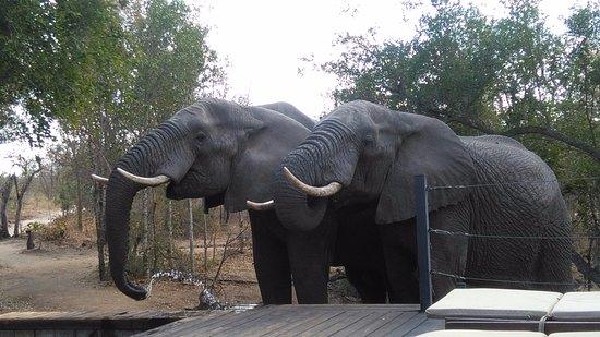 Honeyguide Tented Safari Camps: Eléphants buvant à la piscine du camp