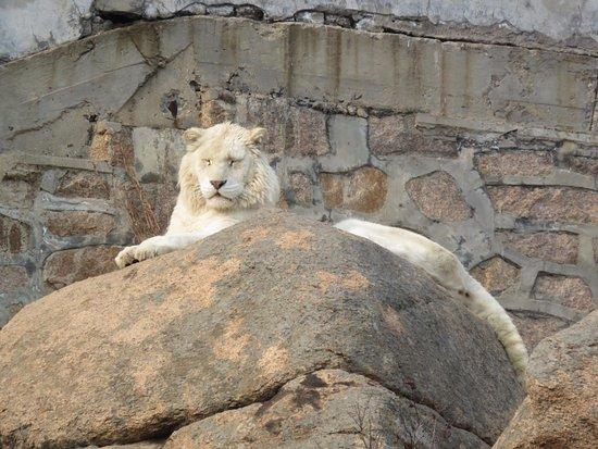 Rongcheng, China: White stripeless tiger (or liger?)