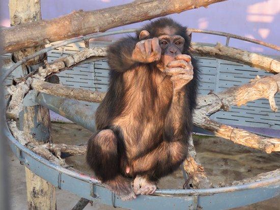 Rongcheng, China: Baby chimp begging for food