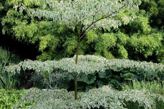Cornus controversa foto de jardin interieur ciel ouvert athis de l 39 orne tripadvisor - Jardin contemporain athis de l orne nantes ...