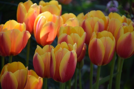Historical Village, Vermeer Windmill & Scholte House : Tulips