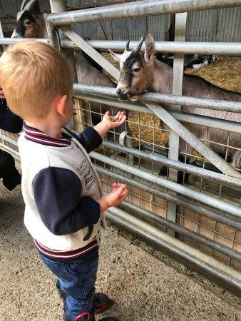 Brynsiencyn, UK: Feed time in the barn