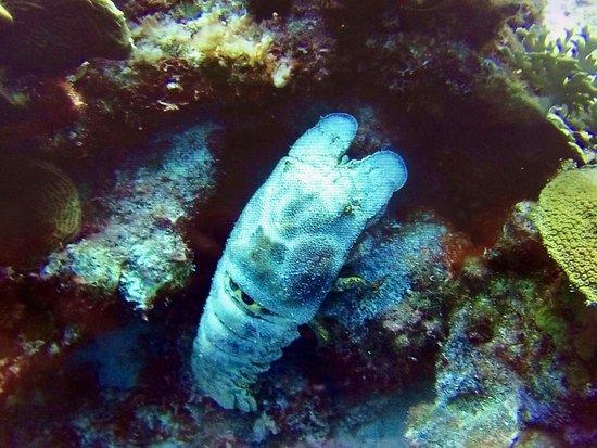Kralendijk, Bonaire: slippery lobster