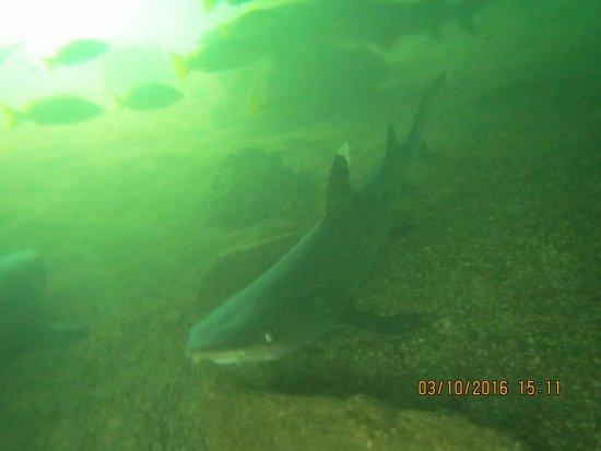 Puerto Villamil, เอกวาดอร์: tintorera shark while snorkeling