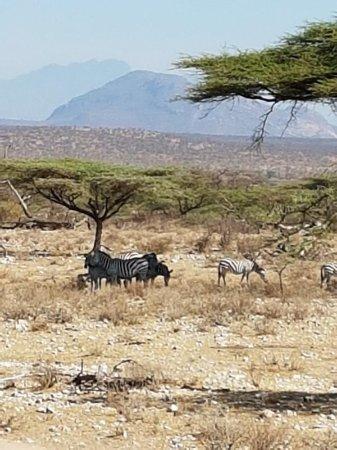 Shaba National Reserve, Kenia: IMG-20170418-WA0011_large.jpg